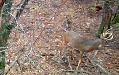 how to hunt whitetail deer with a decoy