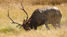 Tips for using trailcams on Elk
