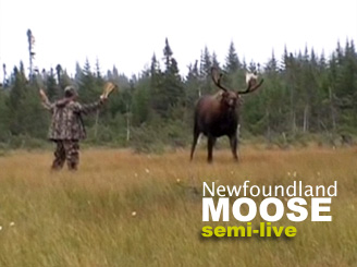 Bowhunting Moose in Newfoundland Canada - a LIVE Bowhunt ...