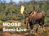 Semi-Live Newfoundland Moose Bowhunt