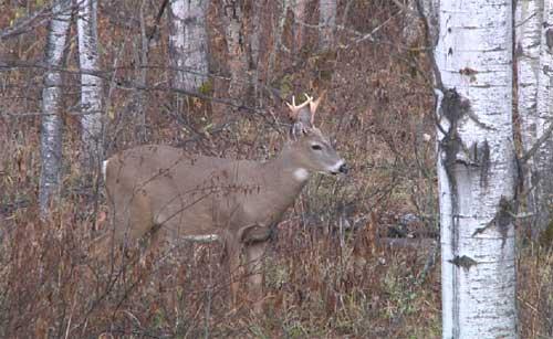 Saskatchewan Whitetail Deer Bowhunt Live!